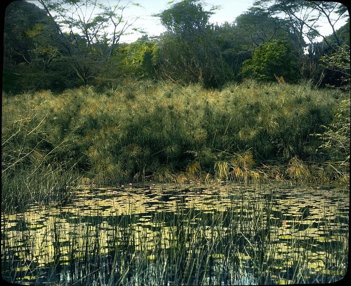Берега озера Виктория возле Джинджи, поросшие водяными лилиями, папирусом и акацией.