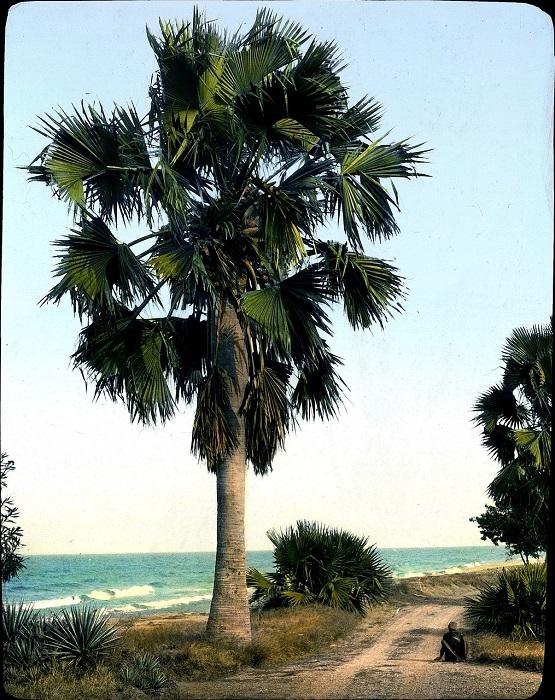 Пальмы Борассус возле поселка Бутиаба на восточном берегу озера Альберт.