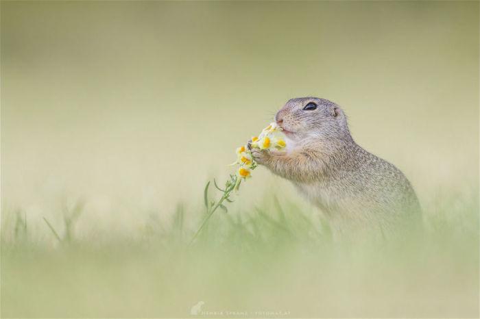 Питаются суслики почти исключительно сочными частями трав.