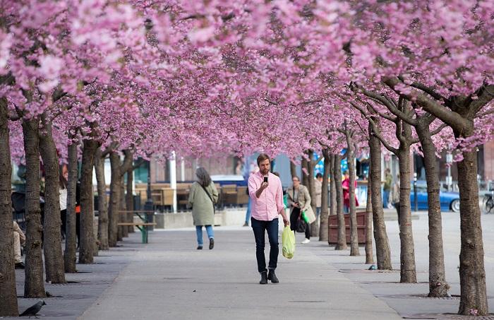 Цветение сакуры в парке Кунгстрэдгорден в Стокгольме (Швеция).