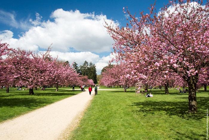 Парковый ансамбль Со недалеко от Парижа (Франция) одет в нежный розовый весенний наряд из цветущей сакуры.