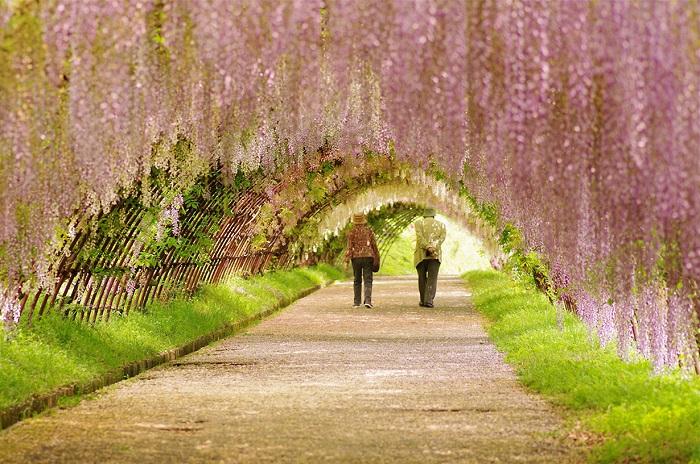 Ароматные цветочные кисти глициний в тоннеле «Вистерия» в Китакюсю (Япония.)