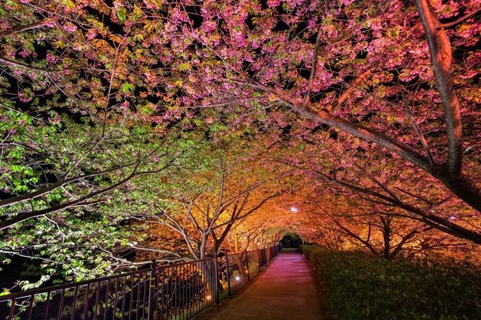Знаменитый «Тоннель любви» в Кавадзу (Япония) каждую весну привлекает посетителей потрясающие красивыми цветущими деревьями.