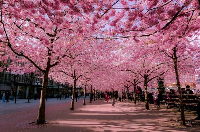 Весной «Королевский сад» на неделю становится самым посещаемым местом в Стокгольме.