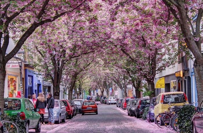 Сказочно-прекрасный вишневый туннель в Бонне (Германия).