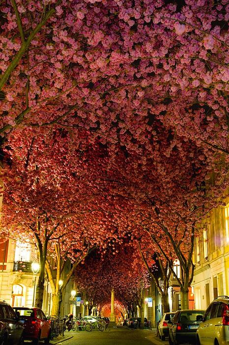 Свет ночных фонарей превращает «вишневые улицы» Бонны в сказочные локации.