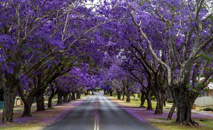 Благодаря буйному весеннему цветению жакаранды город покрывается фиолетовой «дымкой».