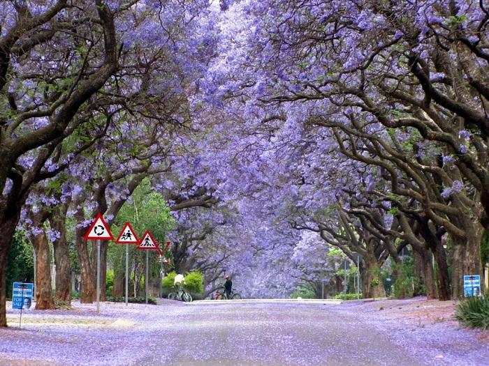 Сезон цветения удивительного «фиалкового дерева» в Графтоне (Австралия).