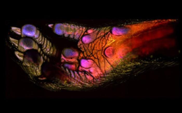 На снимке видны кровеносные сосуды, клетки иммунной системы и мягких тканей. Фотограф д-р Эндрю Дж. Вулли, Himanshi Десаи и Кевин Отто, Университет Пердью, штат Индиана.