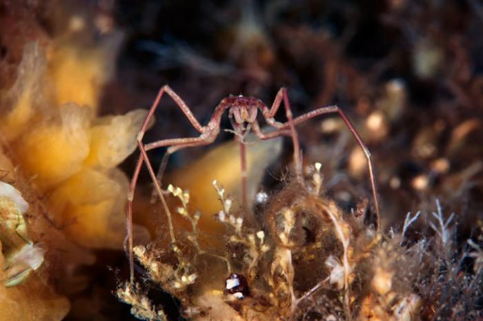 Морские пауки обитают практически на всех глубинах, от литорали до абиссали, в условиях нормальной солености. В настоящее время известно более 1000 современных видов. Фотограф Alexander Semenovs.