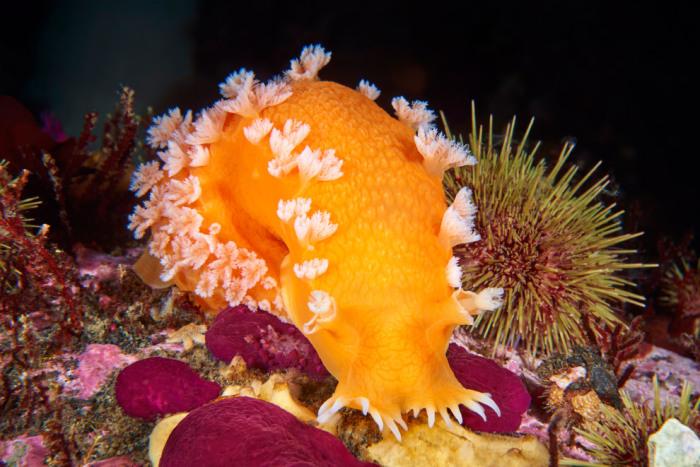 Представители семейства - рекордсмены среди рыб по глубине, на которой их обнаруживали. В декабре 2014 года неизвестный ранее вид был обнаружен в образцах, поднятых из Марианского жёлоба, с глубины 8143 м (рекордной на тот момент).