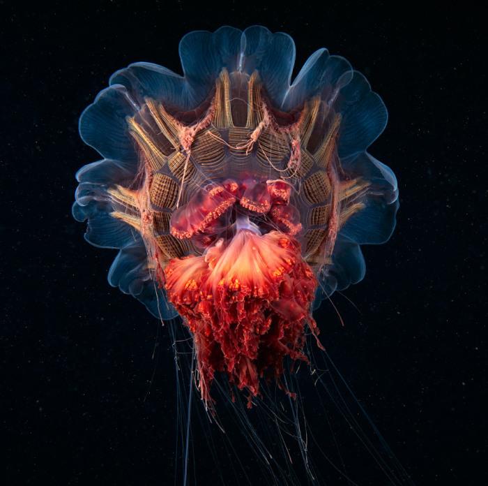Медуза, на 98 % состоящая из воды. Фотограф Alexander Semenovs.