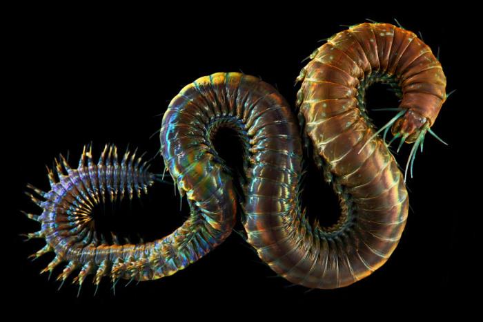 Тело червя длиной 2-3 метра состоит из множества колец-сегментов, в каждом из которых повторяется комплекс внутренних органов. Фотограф Alexander Semenovs.