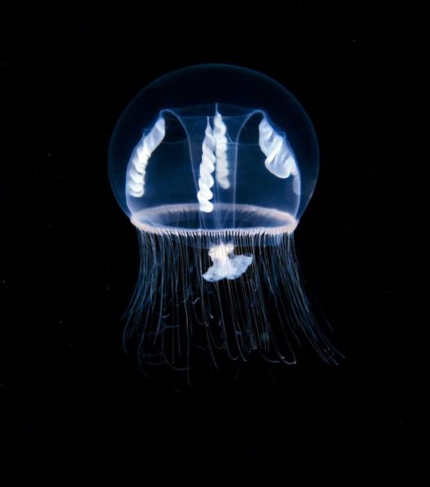 Даже самые крупные медузы, чьи линейные размеры превышают метр, а масса доходит до нескольких центнеров, неспособны противостоять морским течениям. Фотограф Alexander Semenovs.