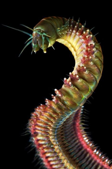 Типичные морские животные и очень редко встречаются в пресной воде. Фотограф Alexander Semenovs.