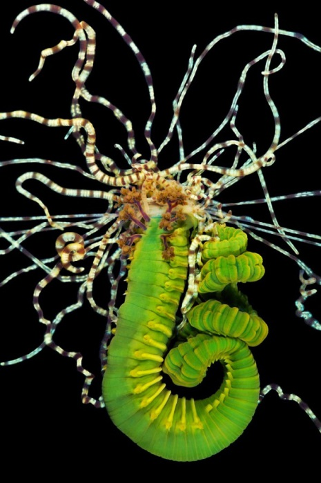 Разновидность морских червей.