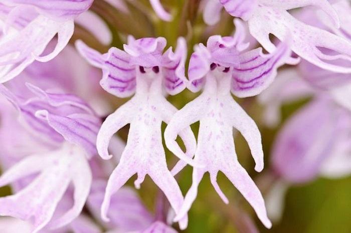 Лепестки итальянских орхидей очень похожи на тело голого человечка.