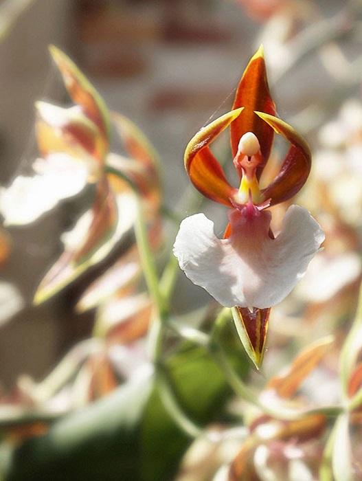 Потрясающая орхидея, которая очень похожа на танцующую балерину.