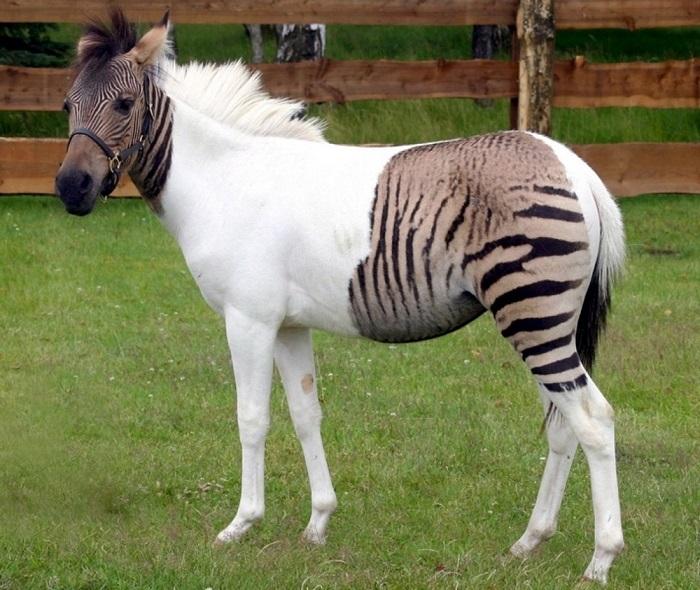 Помесь зебры и пони.