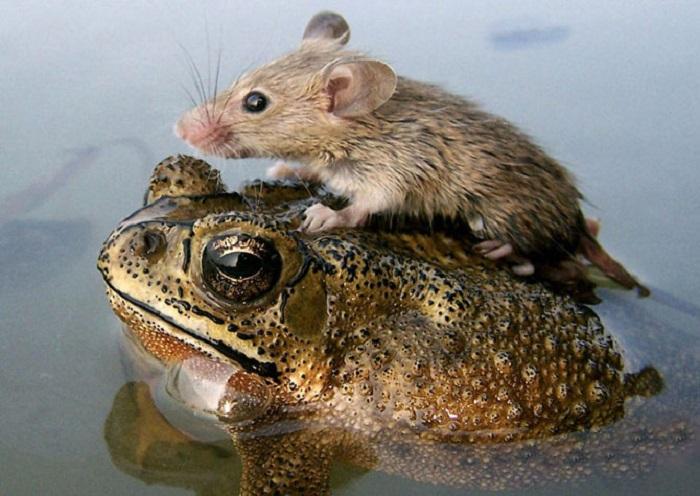 Мышь плывет на лягушке-спасительнице в паводковых водах на севере Индии в городе Лакхнау.