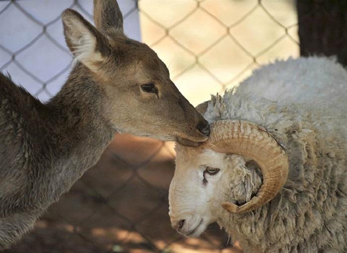 Двухлетний баран по кличке Длинноволосый влюбился в трехлетнюю самку оленя по кличке Чуньцзы.