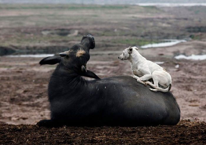 Собака лежит на спине у буйвола у реки Равви в Лахоре, Пакистан.
