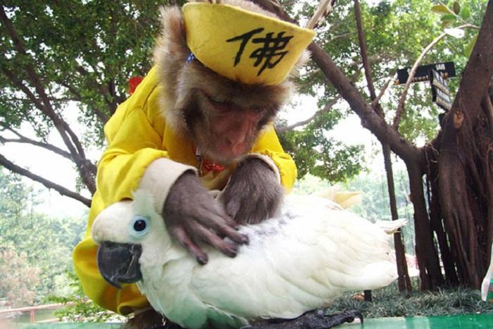 Обезьяна помогает попугаю избавиться от вшей.