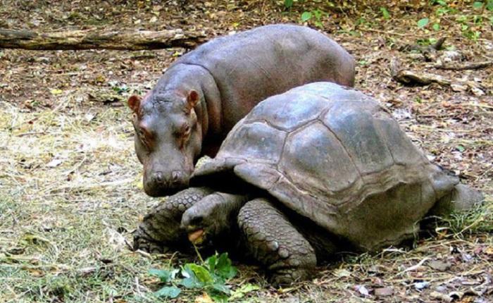 Бегемот и черепаха живут душа в душу и черепаха ни на минуту не отпускает от себя своего любимого сыночка-бегемотика.