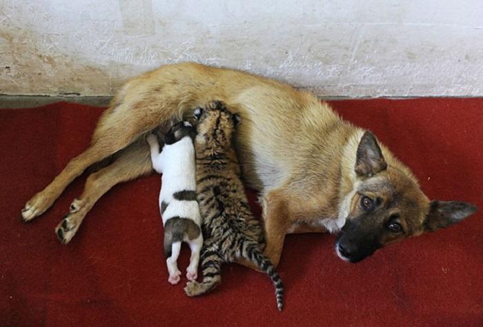 Собака кормит 10-месячного тигренка и своего щенка в зоопарке Хэфэй в провинции Аньхой.