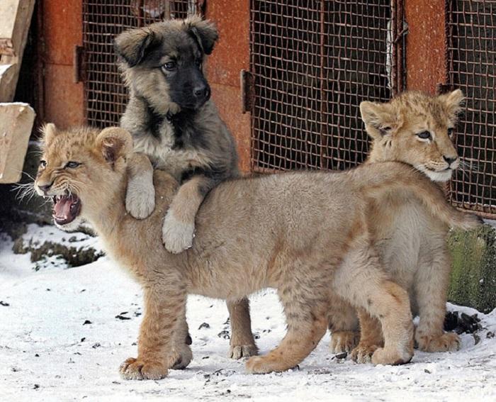 Два львенка и собака, живущие во дворе частного дома в Харькове.