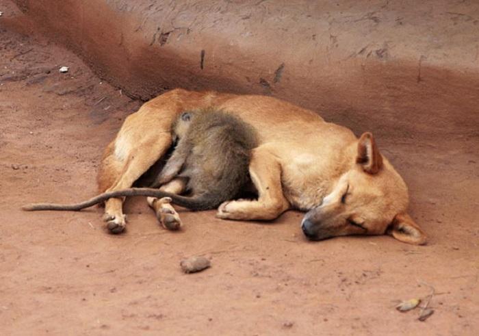 Обезьяна спит рядом с собакой.