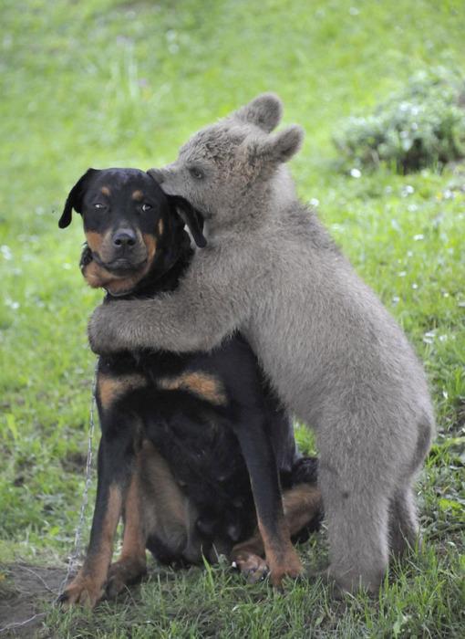 Медвежонок Медо играет с собакой семьи Логар в деревне Подвр, центральная Словения.
