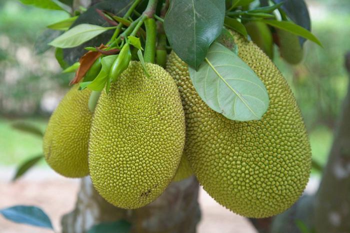 Фрукт считается близким родственником хлебного дерева, но не так популярен из-за неприятного запаха кожуры.