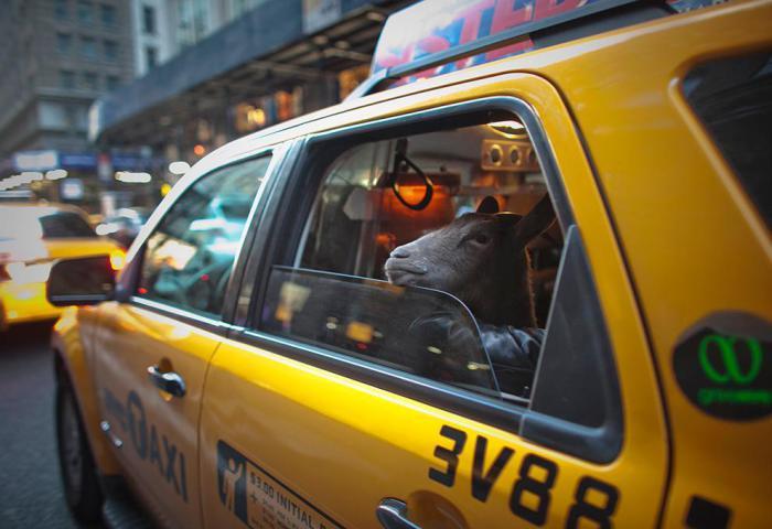 Житель Нью-Йорка устроил экскурсию на такси своему мини-козлу Какао.