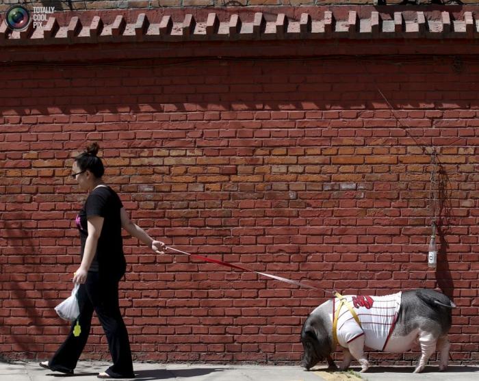 80-килограммовая красотка-Ухуа, живёт в одной из Пекинских квартир с хозяйкой, её мужем, собакой и кроликом.