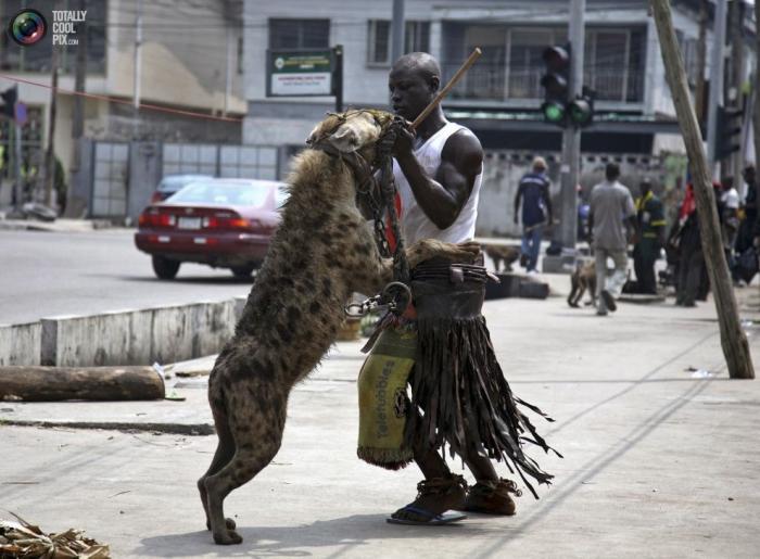 Житель нигерийского Лагоса проверяет зубы у гиены, с которой выступает на городских улицах и площадях.