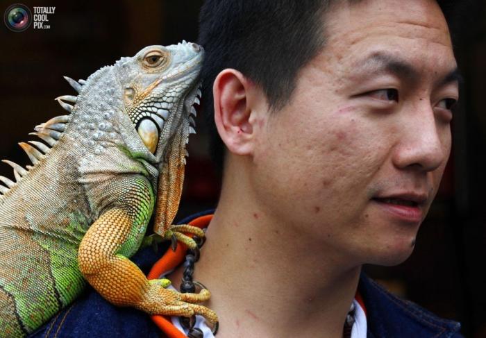 Житель Тайбэя отмечает Международный день животных с игуаной, в которой не чает души.
