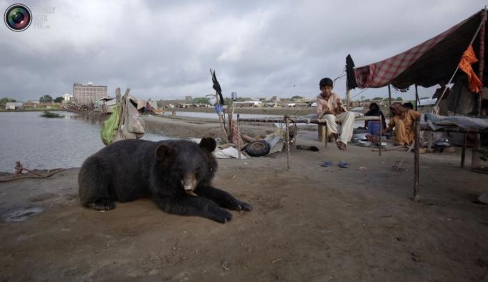 Спасенный людьми во время сильного наводнения в Пакистане медведь привык к своим спасителям и стал ручным.