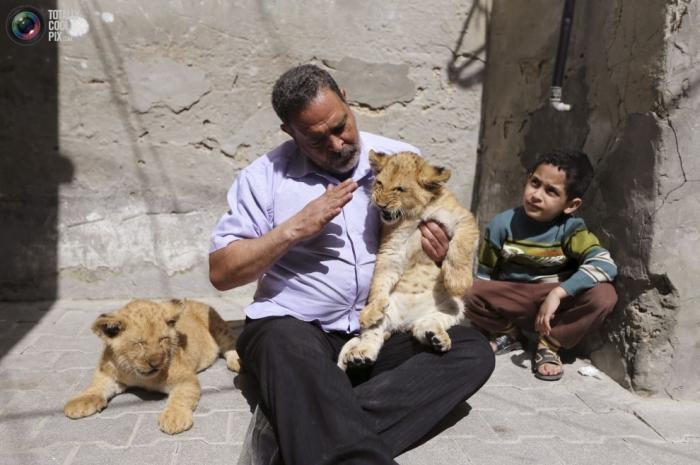 Палестинец Саад Эльдин аль-Джамал завел львят Моне и Алексу, о которых мечтал с детства.