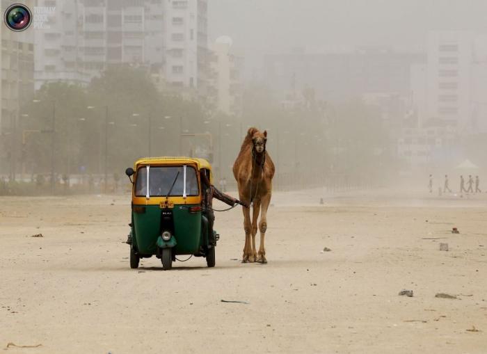 Мужчина выгуливает своего верблюда во время пылевой бури, Ахмадабад, Индия.