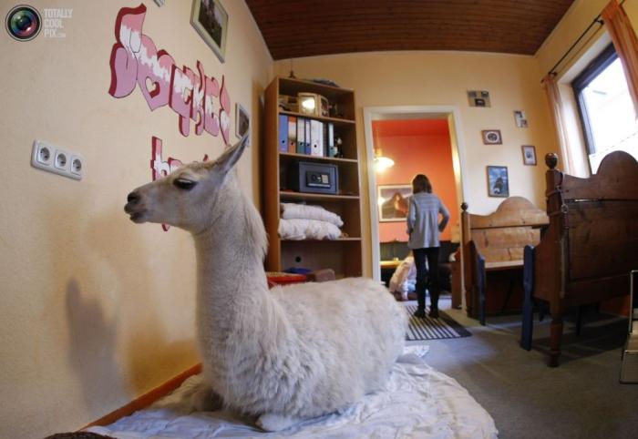 Трехлетняя лама Сок, живёт в семье Николь Деппер из немецкого города Мюльхайм с первых дней жизни.