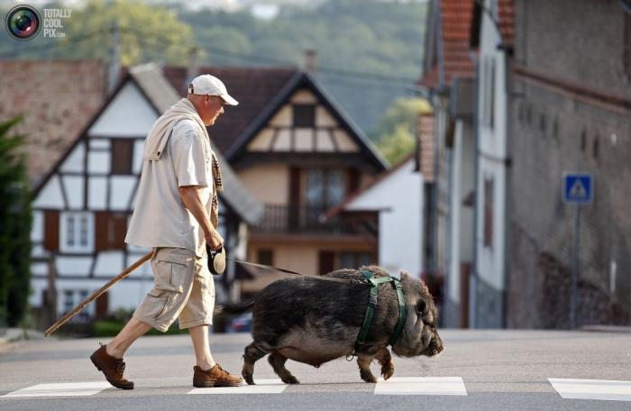 Житель Страсбурга выгуливает двухгодовалого Марселя, помесь свиньи и дикого кабана, которого они с женой подобрали в трехмесячном возрасте.