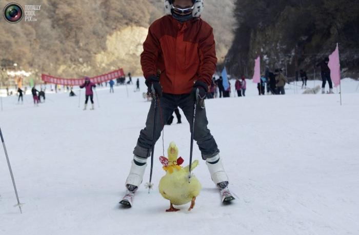 Участник гонки со своим питомцем во время соревнований по горным лыжам.