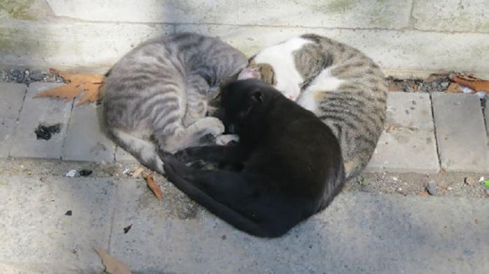 Три котика уснули в виде сердечка.