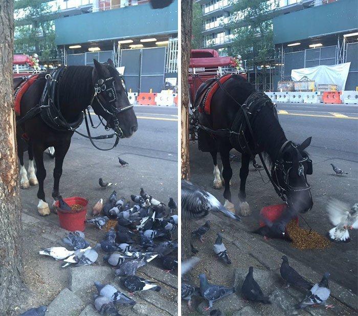 Лошадь угостила птиц своим кормом, рассыпав его на дорогу.