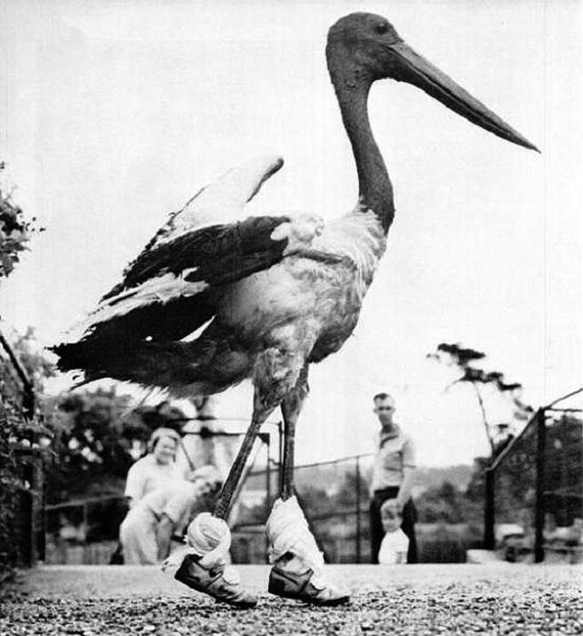 Пеликан на прогулке тестирует новые кроссовки Reebok.