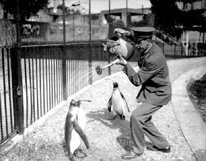 Работник зоопарка устраивает пингвинам «ледяной душ», поливая их из лейки, 1930 год.