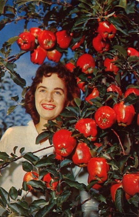 Яблочные сады, в изобилии растущие в Вашингтоне, во время урожая выглядят еще великолепнее.