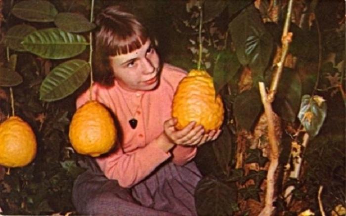 Девочка Беверли Гилман и необычные лимоны, выросшие в садах Галлертауна штата Пенсильвания.