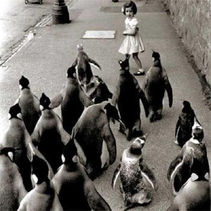 Стая пингвинов пытается догнать маленькую девочку.
